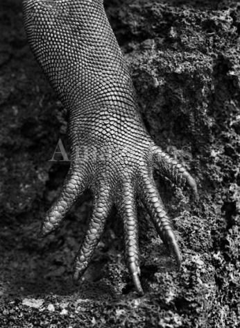 , Sebastião Salgado. Marine iguana. Galápagos. Ecuador. 2004. Gelatin silver print. 180 x 125 cm.