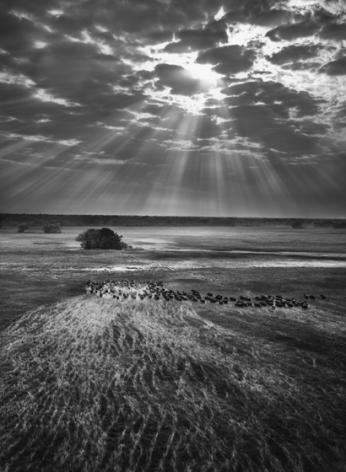 Herd of buffalos. Kafue National Park, Zambia, 2010, gelatin silver print, 68 x 50 inches/180 x 125 cm© Sebastião Salgado/Amazonas Images