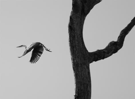 The garca moura, or Cocoi heron, Pantanal, Mato Grosso do Sul, Brazil, 2011, gelatin silver print, 24 x 35 inches/61 x 88.9 cm© Sebastião Salgado/Amazonas Images