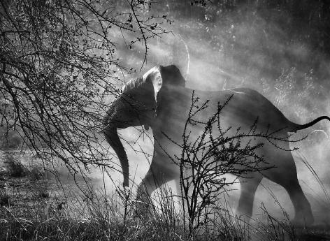 Sebastião Salgado, Kafue National Park, Zambia [elephants], 2010, gelatin silver print, 24 x 35 inches. © Sebastião Salgado/Amazonas Images