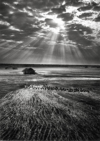 Kafue National Park, Zambia [buffalos] © Sebastião Salgado/Amazonas Images, 2010