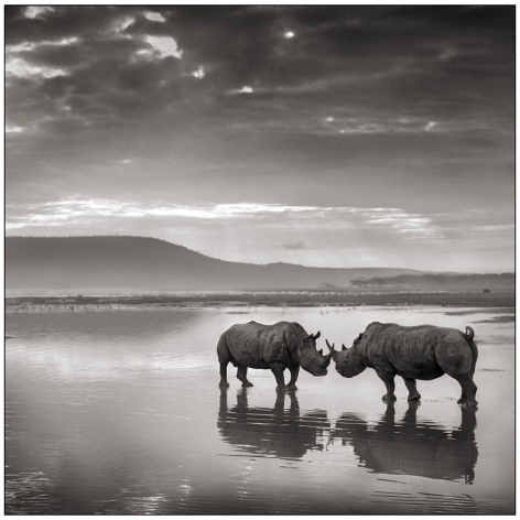 Rhinos on Lake, Nakuru,2007, 20 1/2 x 20 1/2 Inches, Archival Pigment Print, Edition of 25