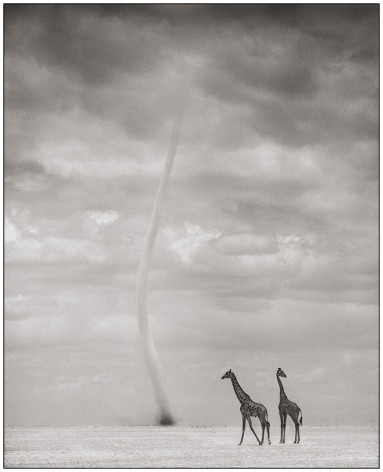 Giraffes and Dust Devil, 25 1/4 x 20 1/2 Inches, Archival Pigment Print, Edition of25