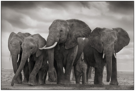 Elephant Five, Amboseli, 2008, 17 3/16 x 29 3/8 Inches, Archival Pigment Print, Edition of25