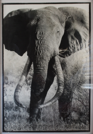 Untitled (Large Double Tusker), Silver Gelatin Photograph with Ink
