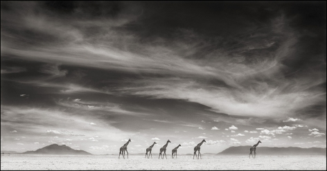 Giraffes Under Swirling Clouds, Amboseli, 2007, 16 x 30 Inches, Archival Pigment Print, Edition of25