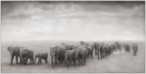 Elephant Journey to Water, Amboseli, 2008, 15 1/4 x 30 Inches, Archival Pigment Print, Edition of 25