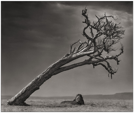Lion Under Leaning Tree, 2008, 20 1/2 x 24 1/2 Inches, Archival Pigment Print, Edition of25