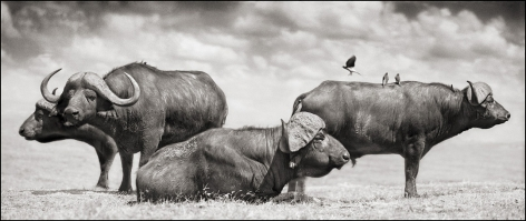 Buffalo Group Portrait, Amboseli, 2006, 12 1/2 x 30 Inches, Archival Pigment Print, Edition of25