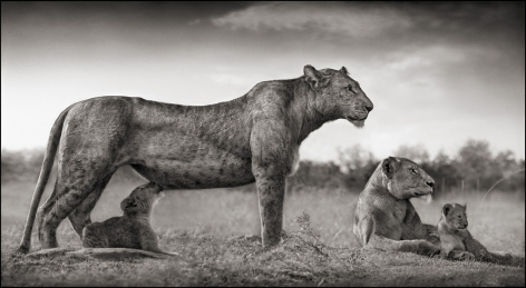 Lioness with Feeding Cubs, Maasai Mara, 2007, 16 x 29 1/2 Inches, Archival Pigment Print, Edition of25