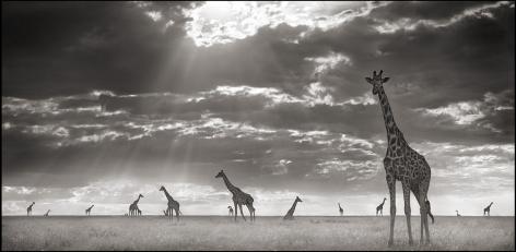 Giraffes in Evening Light, Maasai Mara, 2007, 14 1/2 x 30 Inches, Archival Pigment Print, Edition of25