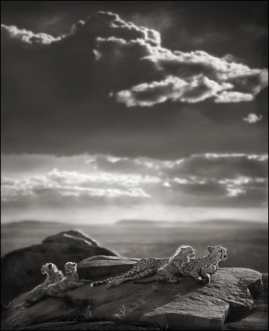 Cheetah & Cubs Lying on Rock, Serengeti, 2007, 25 x 20 1/4 Inches, Archival Pigment Print, Edition of 25