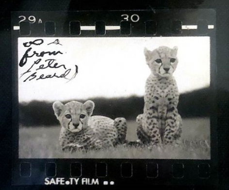 Orphaned Cheetah Cubs (Salaam & Kwahevi) at Feeding Time, Mweiga Park Heights, Near Nyeri, Kenya, 1968, Silver Gelatin Contact Print