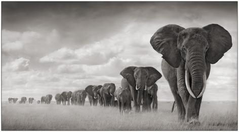 Elephants Walking Through Grass, Amboseli, 2008, 23 x 42 inches, Platinum Palladium Photograph, Ed. of 15