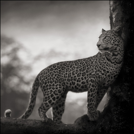 Leopard in Crook of Tree, Nakuru, 2007, 20 1/2 x 20 1/2 Inches, Archival Pigment Print, Edition of 25