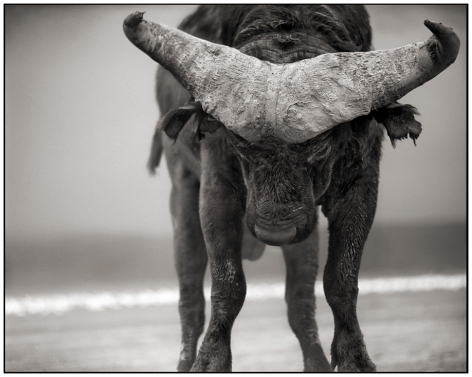 Buffalo with Lowered Head, Lake Nakuru, 2007, 20 1/4 x 25 3/4 Inches, Archival Pigment Print, Edition of25