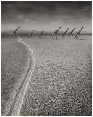 Giraffes on Migration Trail, Amboseli, 2008, 25 3/4 x 20 1/2 Inches, Archival Pigment Print, Edition of25