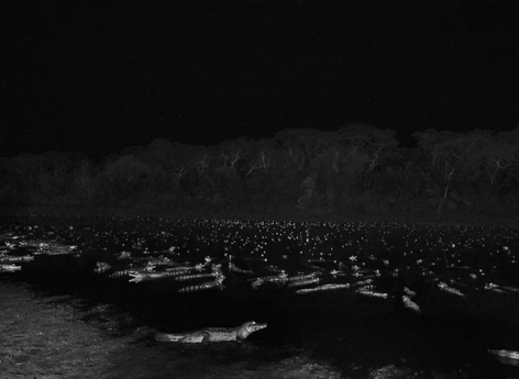 Yacare caimans in Pantanal, a tropical wetland, one of the world's largest wetland of any kind, State of Mato Grosso, Brazil 2011, 16 x 20 inches, Silver Gelatin Photograph