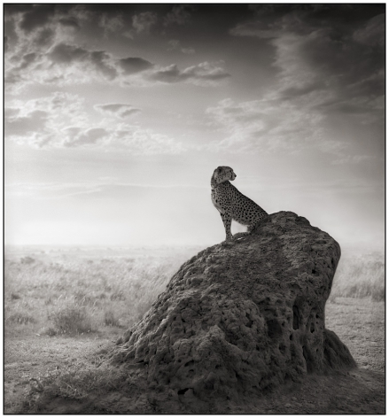 Cheetah on Termite Mound, 2008, 21 3/4 x 20 1/4 Inches, Archival Pigment Print, Edition of25