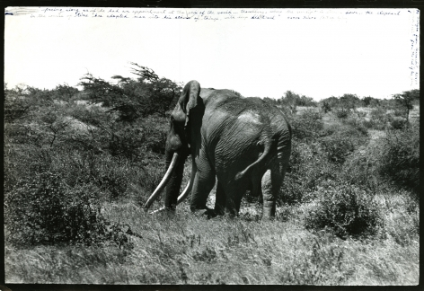 Big Tusker from Behind, Marsabit, Kenya, 1962