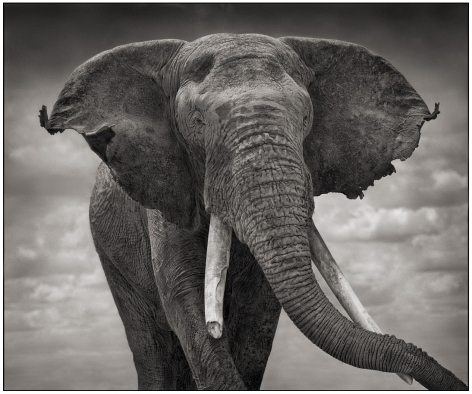 Elephant with Tattered Ears, 2008, 20 1/2 x 24 1/2 Inches, Archival Pigment Print, Edition of 25