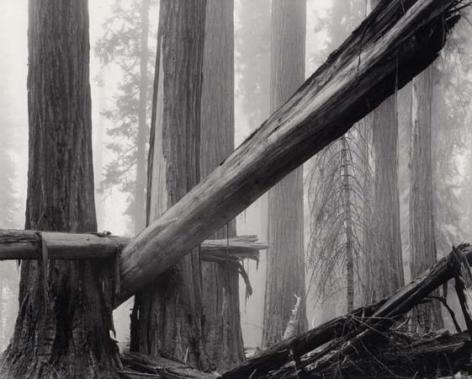 Bruce Barnbaum Fallen Sequoias, 1977