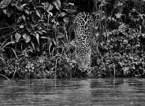 Jaguar, Tagoarira River, Encontro das Águas National Park, Brazil 2011, 16 x 20 inches, Silver Gelatin Photograph