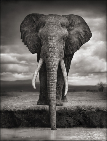 Elephant Drinking, Amboseli, 2007, 26 x 20 Inches, Archival Pigment Print, Edition of 25