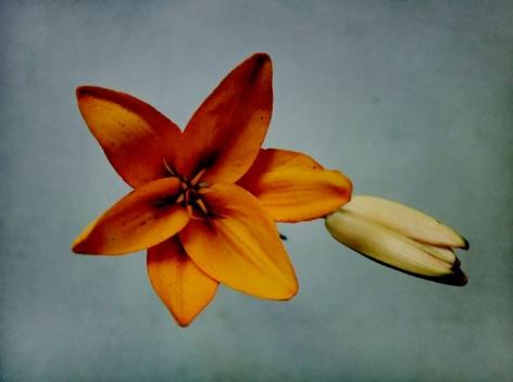 Orange Lily, 2019, Archival Pigment Print