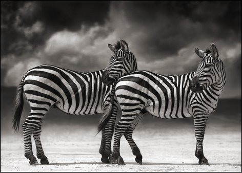 Portrait of Zebras Turning Heads, Ngorongoro Crater, 2007, 19 x 27 Inches, Archival Pigment Print, Edition of25