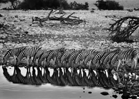 Mountain Zebras, Namibia 2005, 16 x 20 inches, Silver Gelatin Photograph