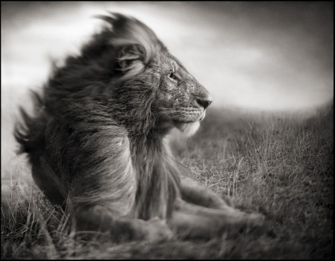 Lion Before Storm II, Sitting Profile, Maasai Mara, 2006, 20 x 25 1/2 Inches, Archival Pigment Print, Edition of25