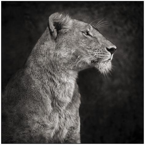 Portrait of Lioness Against Rock, Serengeti, 2007, 20-1/2 x 20-1/2 Archival Pigment Print, Ed. 25