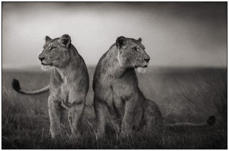 Lionesses Readying to Hunt, Maasai Mara, 2008, 18 1/2 x 28 1/2 Inches, Archival Pigment Print, Edition of 25