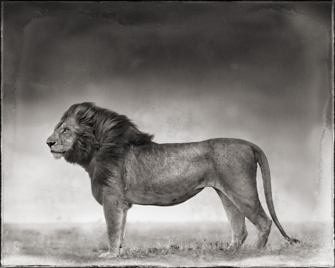 Portrait of Lion Standing in Wind, Maasai Mara, 2006, 20 1/8 x 25 5/16 Inches, Archival Pigment Print, Edition of25
