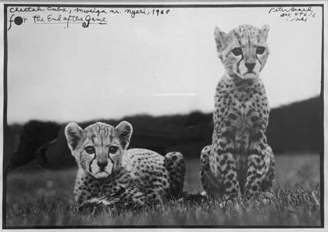 Orphaned Cheetah Cubs, Mweiga, Near Nyeri, For the End of the Game, Box 47616, 1968  , Silver Gelatin Photograph with Ink