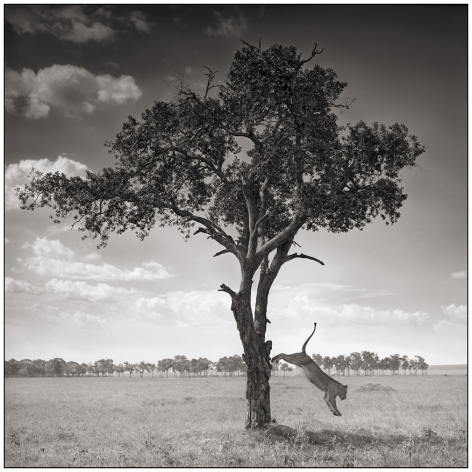 Lioness Jumping Out of Tree, Maasai Mara,2008, 20 1/2 x 20 1/2 Inches, Archival Pigment Print, Edition of25