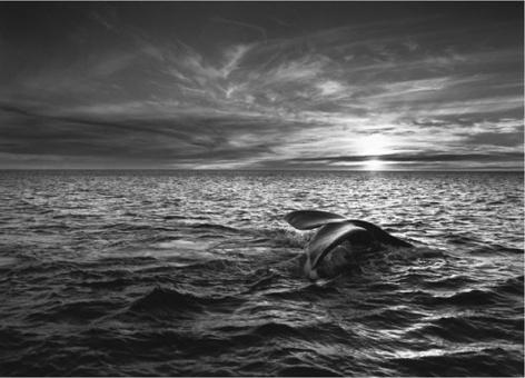 Southern Right Whale (Eubalaena australis) Navigating the Golfo Nuevo, Valdes Peninsula, Argentina 2004, 16 x 20 inches, Silver Gelatin Photograph