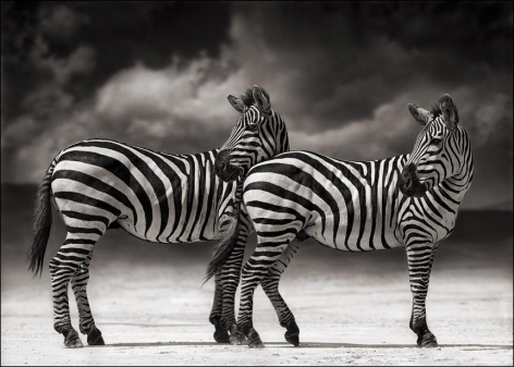 nick brandt portrait of two zebras turning heads ngorongoro crater
