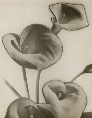 Man Ray, Calla Lilies, 1930