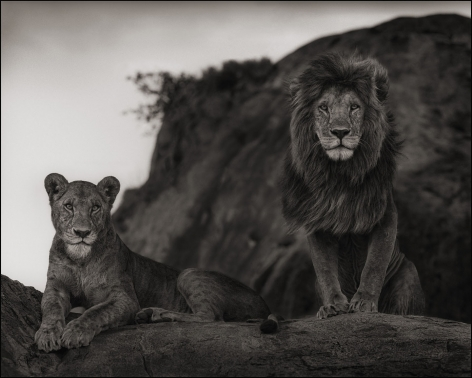 Lion Couple, Serengeti, 2010