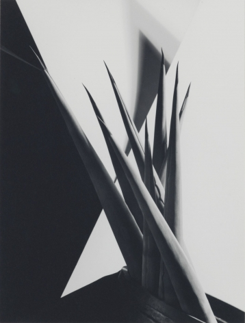 Imogen Cunningham, Agave Design I, 1920s
