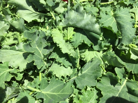 Baby Green Kale