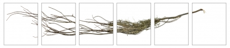 "Dawn Roe  Si's Branch (Dried) from the series ""Conditions for an Unfinished Work of Mourning"" Wretched Yew, 2020  Pigment prints on Hahnemuhle Photo Rag paper  Set of 6, 10 x 8 inches each (paper size), photograph of a yew tree branch over 6 individual images"