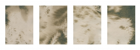 "Dawn Roe  Lone Fir Yew (2) from the series, ""Conditions for an Unfinished Work of Mourning: Wretched Yew"", 2019  Toned Cyanotype on paper  Set of 4, 7 x 5 inches each (paper size), set of 4, brown toned cyanotypes of yew tree branches moving in the wind"