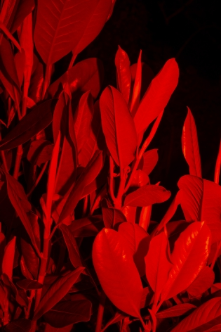 Untitled #6, 2020  Archival pigment print  24 x 16 inches  Edition of 5, vertical image of plants at night with red lights