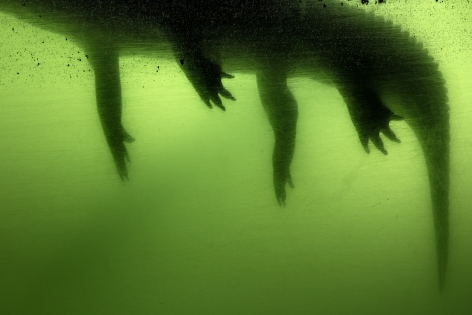 Gator, 2017, from the series Flood Zone  Archival pigment print  32 x 40 inches  Edition of 5, image of a pool of green with the shadow of an alligator floating at the top left corner