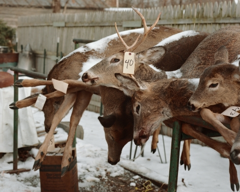 Tema Stauffer  Deer Carcasses, Stockport, New York, 2016, 2016  Archival Pigment Print  24h x 30w in, Edition of 8  30h x 36w, Edition of 8  42h x 50.5w, Edition of 3   TS_025
