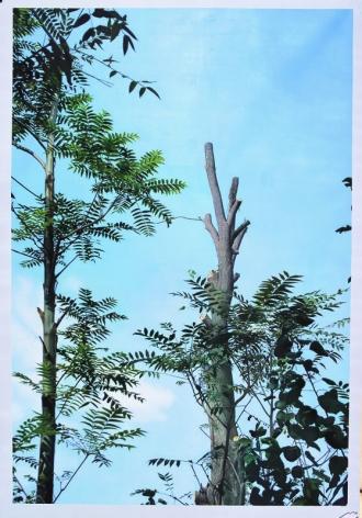 A Hundred Year Old Tree Blooms Again No.1ç™¾å¹´è€æ'再长一遍 No.1, 2008