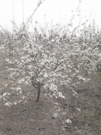 Blossoming Pear Tree - Sadness 一树梨花的伤春, 2012